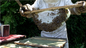 This is a capped honeycomb from a Top Bar Hive at mccartneyt.sg-host.com