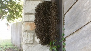 Bees swarming on a wall